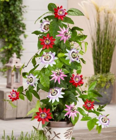Passion Flower Collection 'Tricolor' – Climbing plants