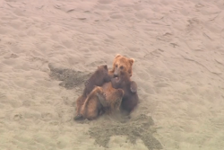 Brown bear nursing three young bears on Wild Alaska Live
